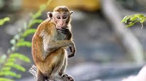 Fakta Unik Tentang Monyet